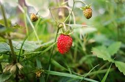 PUBLIC DOMAIN DEDICATION -  digionbew 9. june - 17-06-16 Wild Strawberry - LOW RES DSC00552 Royalty Free Stock Photography