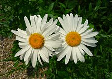 PUBLIC DOMAIN DEDICATION - Pixabay - digionbe 11. 04-07-16 Ox eye daisies at Frankendael LOW  RES DSC04247 Royalty Free Stock Images