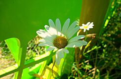 PUBLIC DOMAIN DEDICATION - Pixabay- digionbew 11. 03-0-16 DaisY at green fence LOW RES DSC04139 Stock Photography