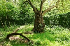 PUBLIC DOMAIN DEDICATION - Pixabay - digionbew 11. 04-07-16 Gnarled tree in Frankendael garden LOW RES DSC04324 Stock Photography