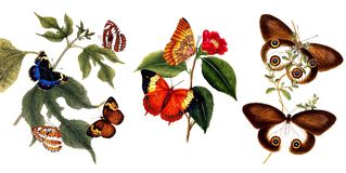 Illustration of butterflies and plants. Public domain. An epitome of the natural history of the insects of China. Bensley, 1798 Royalty Free Stock Photography