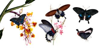 Illustration of butterflies and plants. Public domain. An epitome of the natural history of the insects of China. Bensley, 1798 Stock Images