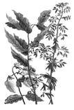 Flora exotic plants on white background. Public domain. Voyages de Corneille Le Brun par la Mascovie, en Perse, et aux Indes Orientales. Amsterdam : chez Royalty Free Stock Photo