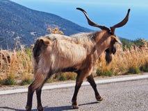 Public Goat Herding, Greece. Goat walking along a public road in Greece; public goat and livestock herding royalty free stock images