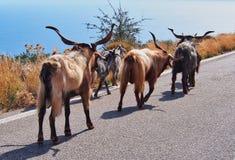 Public Goat Herding, Greece. Goats walking along a public road in Greece; public goat and livestock herding stock photos