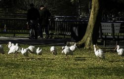 White birds in a public park stock photo