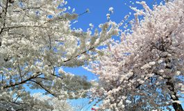 Publicación anual Cherry Blossom Festival del Washington DC imagen de archivo