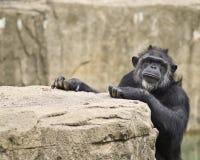 Publicidad masculina del chimpancé imágenes de archivo libres de regalías