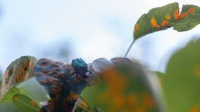 Pucciniales Rust on pear leaves. Dangerous disease that can destroy the entire garden. Close up stock images
