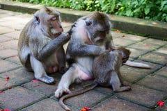 Puce de recherche de singe image stock