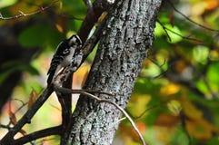 Puchaci dzięcioła Picoides pubescens na drzewa zakończeniu Up Obrazy Royalty Free