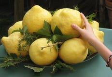 Puchar ogromne słodkie i kwaśne cytryny w południowym Włochy Zdjęcia Stock