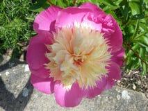 Puchar piękno peonia zdjęcie royalty free