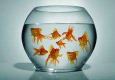 pucharu goldfish Fotografia Royalty Free