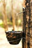 pucharu przepływów mleka gumowy drzewo drewniany Zdjęcia Royalty Free