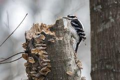 Puchaty dzięcioła ptak buduje gniazdeczko zdjęcia royalty free