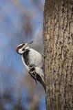 Puchaty dzięcioł na popiółu drzewie w wintertime fotografia royalty free