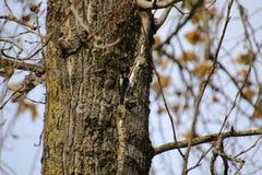 Puchaty dzi?cio? na stronie drzewo zdjęcia royalty free