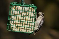 Puchaty dzięcioł przy ptasim dozownikiem. Obrazy Stock