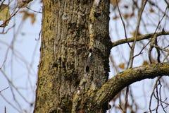 Puchaty dzi?cio? na stronie drzewo zdjęcie stock