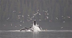 Puckelrygg Bubbelnet som matar i Alaska royaltyfri bild