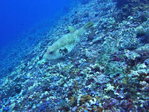 Puckelryggturretfish, Coral Sea, Bali, Indonesien Royaltyfria Bilder