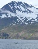 Puckelryggval i Island Arkivfoton