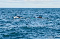 Puckelryggval som är frånlands- av Boston, MOR, USA i Atlanticet Ocean arkivfoto
