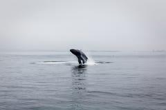 Puckelryggval som bryter igenom i lugna vatten av Montere Royaltyfri Bild