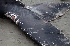 Puckelryggvalwashes ashore och matrist royaltyfri fotografi