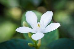 Pud Pichaya-bloem Royalty-vrije Stock Afbeeldingen