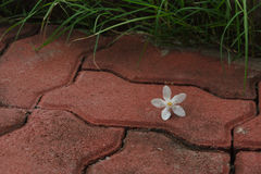 The PUD Pitchaya  flower on  the walkway. In the garden Stock Images