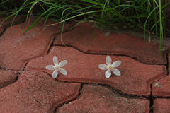 The PUD Pitchaya  flower. On  the walkway in the garden Royalty Free Stock Image