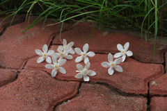 The PUD Pitchaya  flower. On  the walkway in the garden Royalty Free Stock Images