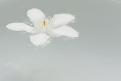 The PUD Pitchaya  flowers. On the water in bowl Stock Images