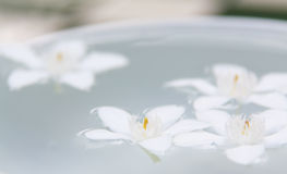 The PUD Pitchaya  flowers. On the water in bowl Royalty Free Stock Image
