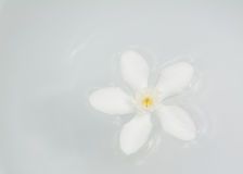 The PUD Pitchaya  flowers. On the water in bowl Royalty Free Stock Photo