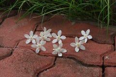 PUD Pitchaya kwiat Obrazy Royalty Free