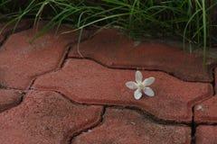 PUD Pitchaya kwiat na przejściu Obrazy Stock