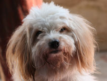 Puddle dog face. Closeup of puddle dog face stock photo