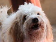 Puddle dog face. Closeup of puddle dog face stock image