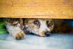 Puddle dog Stock Photography