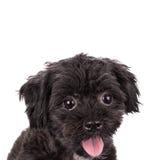 Puddle dog posing isolated on white background. royalty free stock image