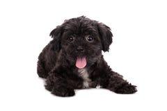 Puddle dog posing isolated on white background. royalty free stock photos