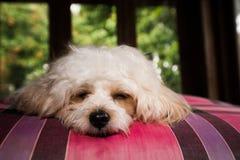 Puddle dog sleep relax. White puddle dog sleep on red mattress Stock Images