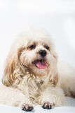 Puddle dog white background Stock Image