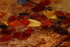 Puddle of Leaves Royalty Free Stock Image