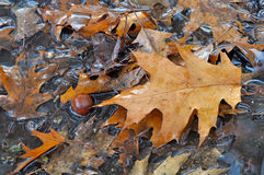 Puddle oak leaf acorn Stock Photo