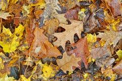 Puddle oak leaf acorn Royalty Free Stock Photo