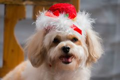 Dog wearing red hat. Puddle white dog wear red hat.  Christmas and happy new year symbol. Holiday celebration background Stock Photography